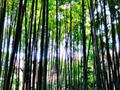 らふたぶ散策 鎌倉篇 - 報国寺 竹の庭