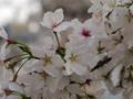 目黒川沿いの桜 2013