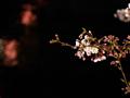 咲き始めの目黒川沿いの桜(夜)