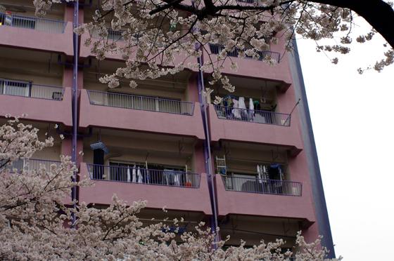 中野通り桜まつり 5