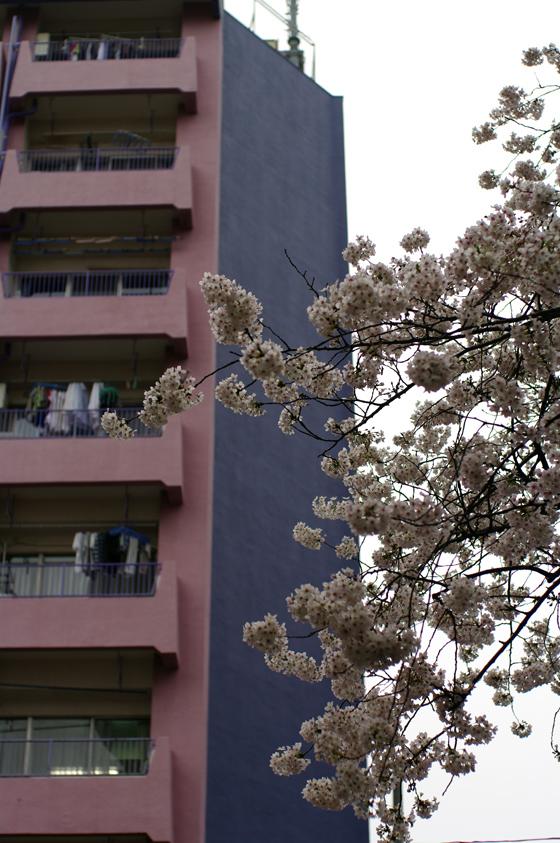 中野通り桜まつり 6
