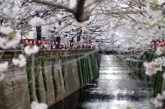 目黒川沿いの桜 2011 3