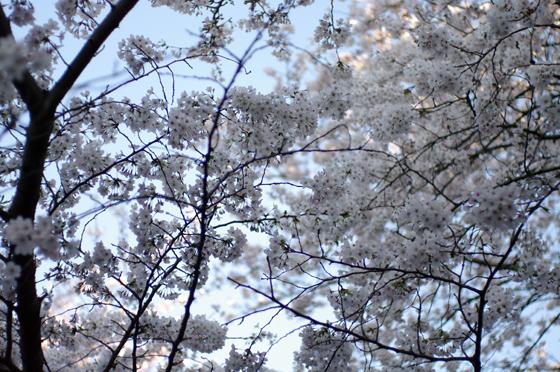 目黒川沿いの桜 2011 6