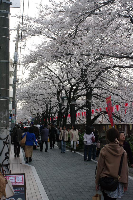 目黒川沿いの桜 2011 7