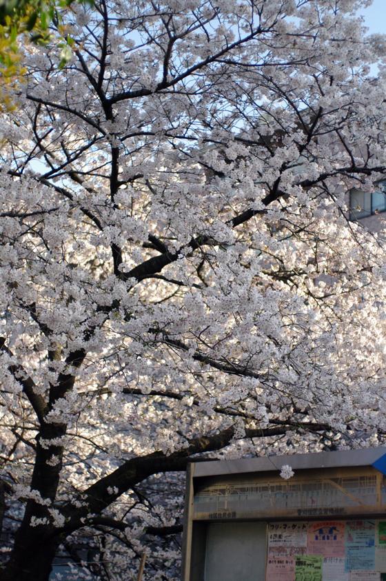 目黒川沿いの桜 2011 8