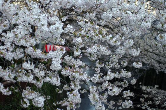 目黒川沿いの桜 2011 9