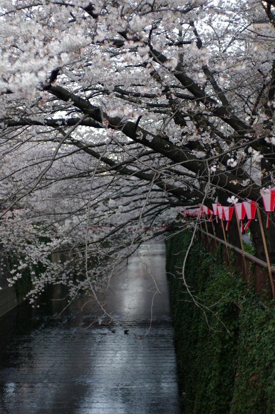 目黒川沿いの桜 2011 11