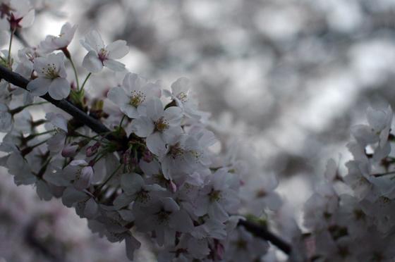 目黒川沿いの桜 2011 14