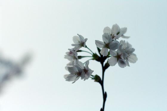 目黒川沿いの桜 2011 15