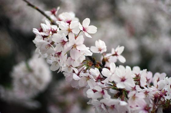 目黒川沿いの桜 2011 17