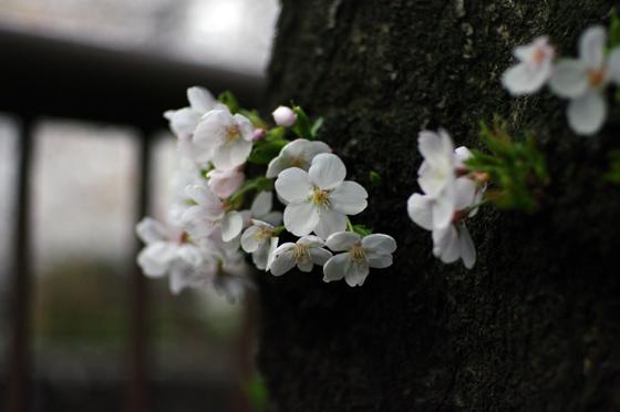 目黒川沿いの桜 2011 その2