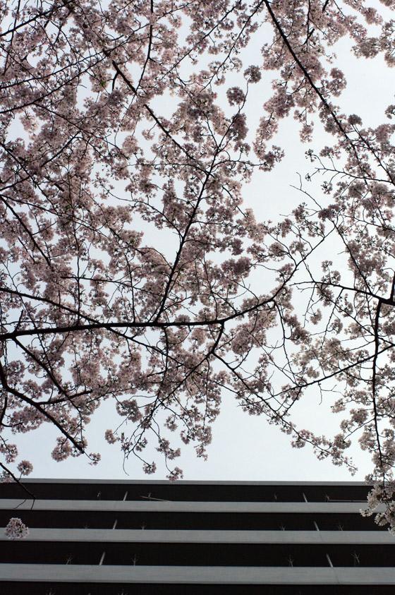 目黒川沿いの桜 2011 その2 6
