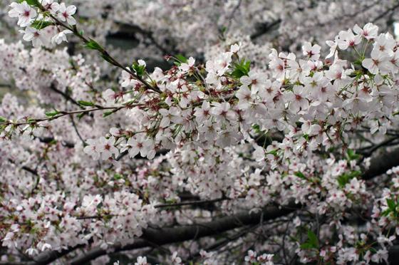 目黒川沿いの桜 2011 その2 10