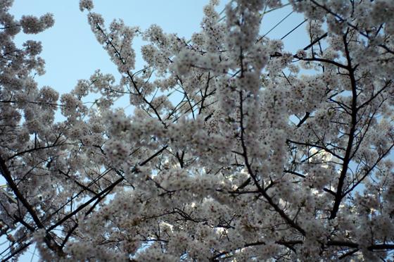 目黒川沿いの桜 2012 3