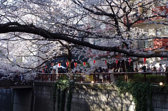 目黒川沿いの桜 2012 6