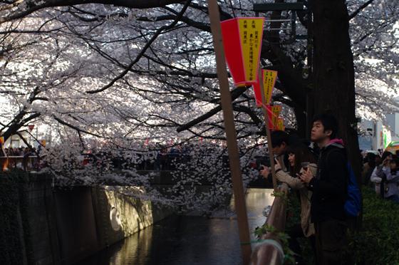 目黒川沿いの桜 2012 8