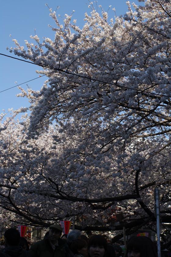 目黒川沿いの桜 2012 9