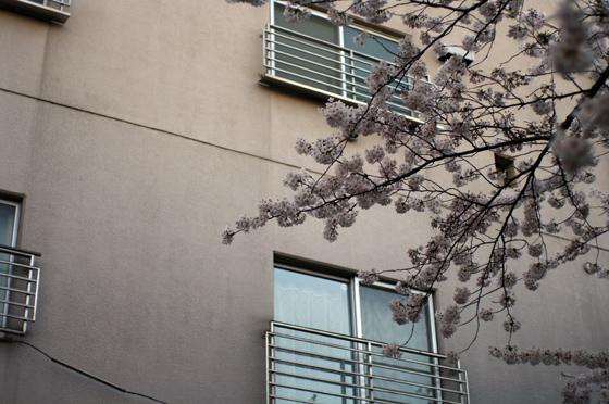 目黒川沿いの桜 2012 13