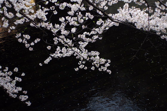目黒川沿いの桜 2012 16