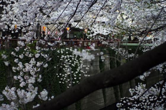 目黒川沿いの桜 2012 17