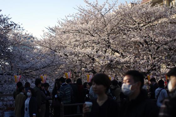 目黒川沿いの桜 2012 19