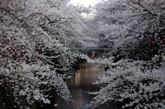 目黒川沿いの桜 2012 20