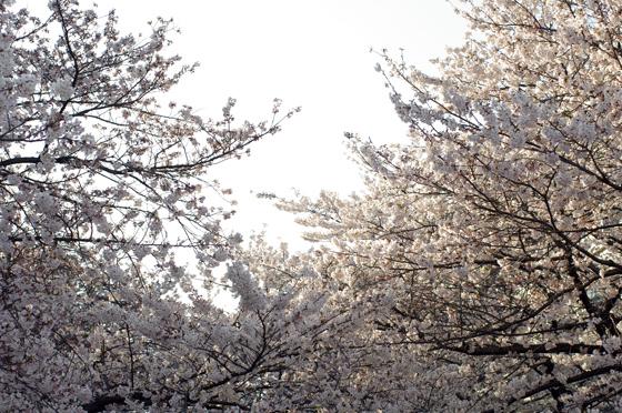 目黒川沿いの桜 2012 24