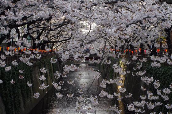 目黒川沿いの桜 2012 25