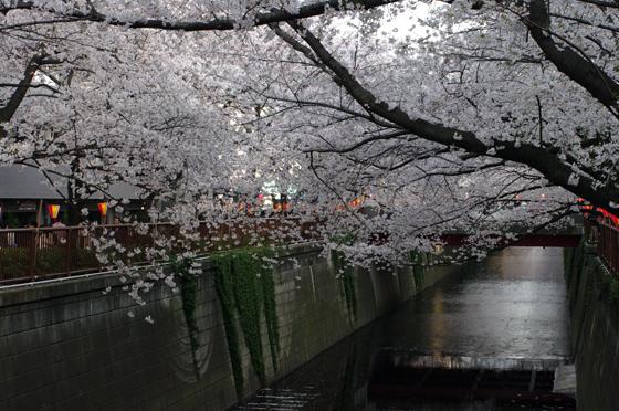 目黒川沿いの桜 2012 27