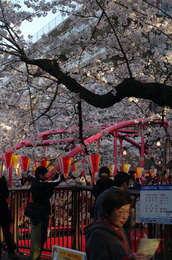目黒川沿いの桜 2012 32