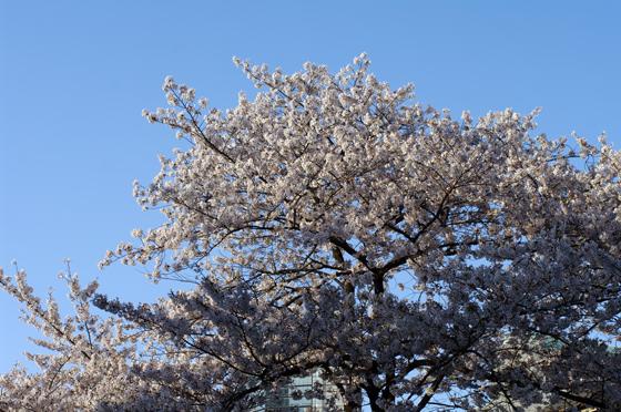 目黒川沿いの桜 2012 33