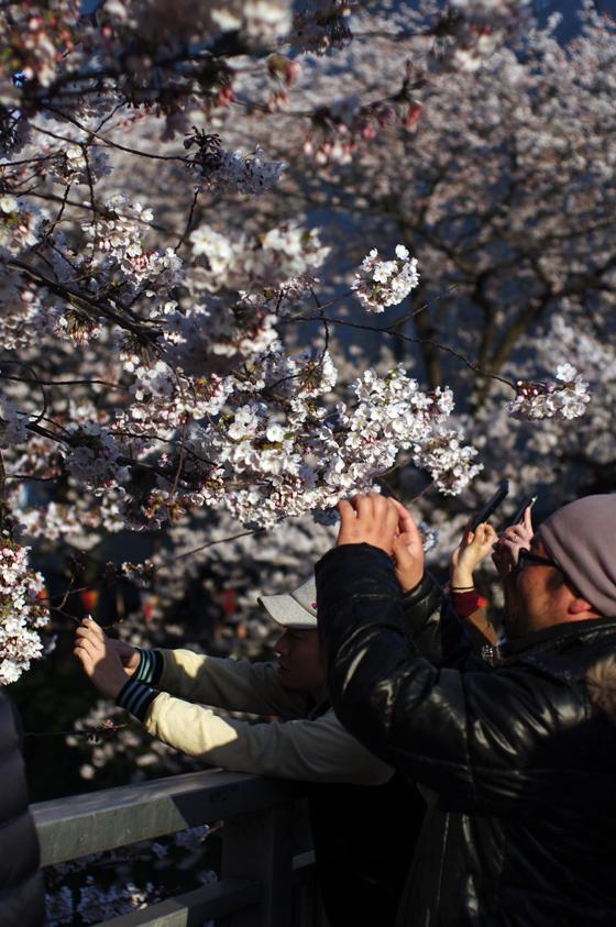 目黒川沿いの桜 2012 34