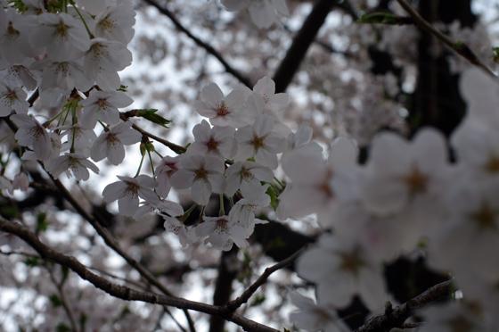 目黒川沿いの桜 2012 36