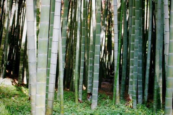 らふたぶ散策 鎌倉篇 - 報国寺 竹の庭 7