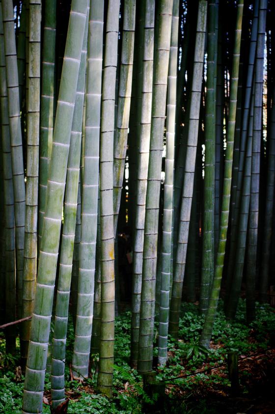 らふたぶ散策 鎌倉篇 - 報国寺 竹の庭 12