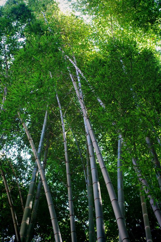 らふたぶ散策 鎌倉篇 - 報国寺 竹の庭 13