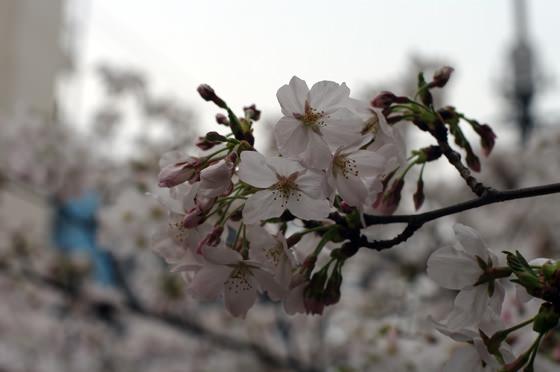 目黒川沿いの桜 2013 3