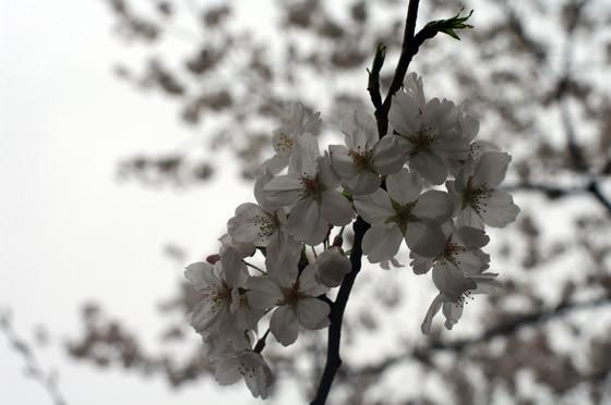 目黒川沿いの桜 2013 4