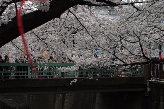 目黒川沿いの桜 2013 9