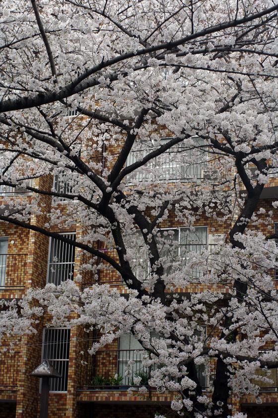 目黒川沿いの桜 2013 11