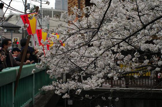 目黒川沿いの桜 2013 12