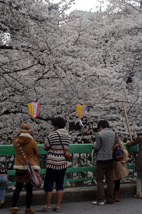 目黒川沿いの桜 2013 13