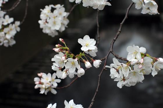 目黒川沿いの桜 2013 14
