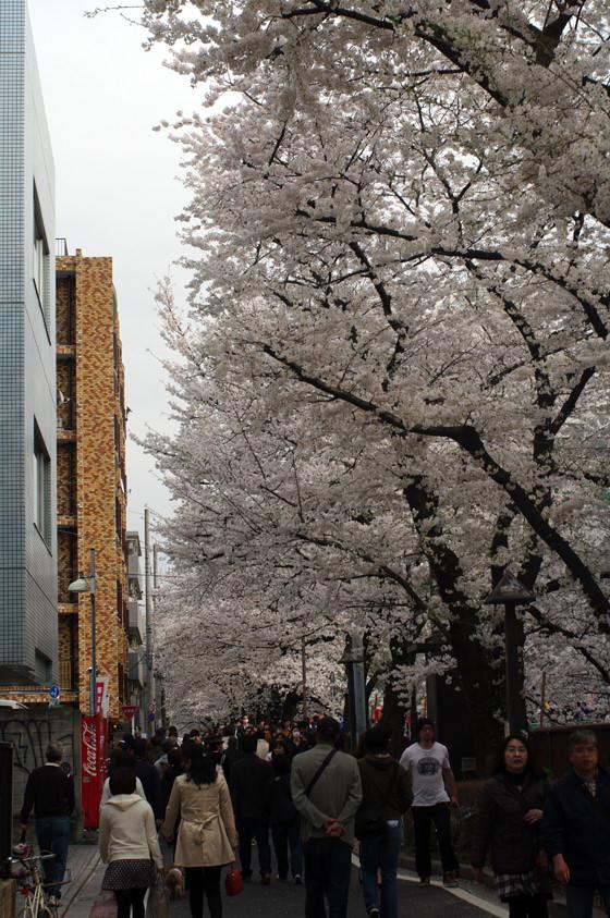 目黒川沿いの桜 2013 21
