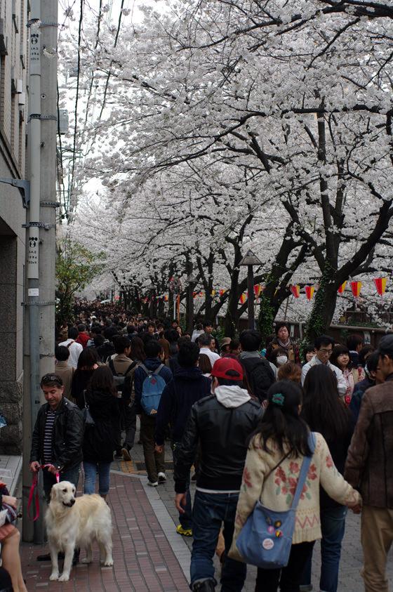 目黒川沿いの桜 2013 26