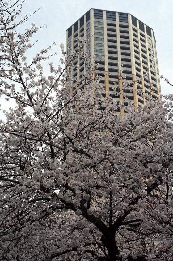 目黒川沿いの桜 2013 28