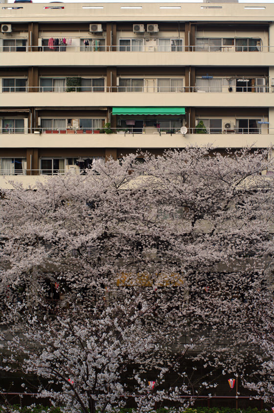 目黒川沿いの桜 2013 31