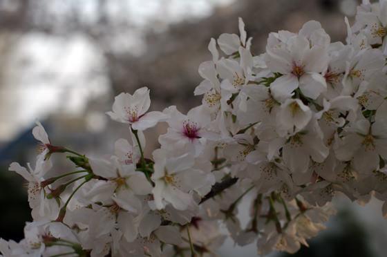 目黒川沿いの桜 2013 32