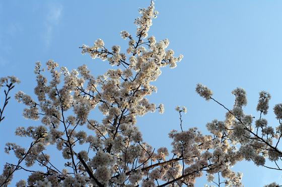 目黒川沿いの桜 2013 33