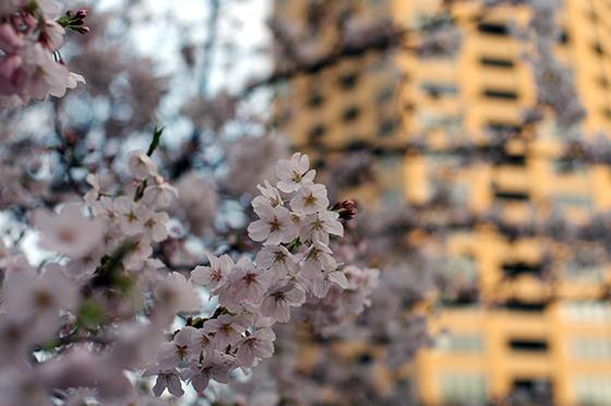 目黒川沿いの桜 2014 5